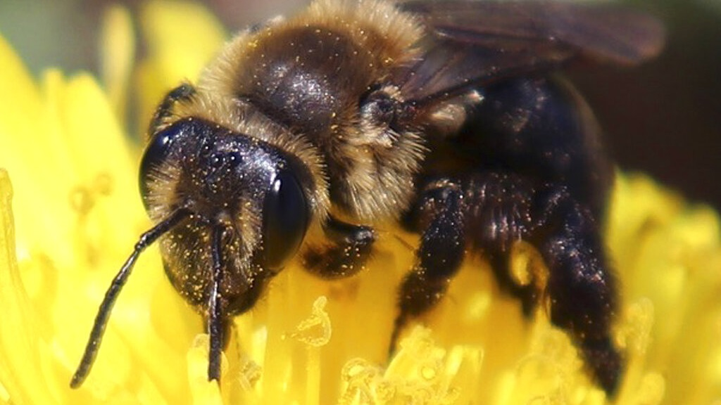 This 2018 photo provided by the University of New Hampshire shows a ground nesting bee pollinating a flower in New Hampshire. The species is one of 14 declining wild bee species identified in a study published in April 2019 by researchers at the university. (University of New Hampshire/Molly Jacobson via AP)
