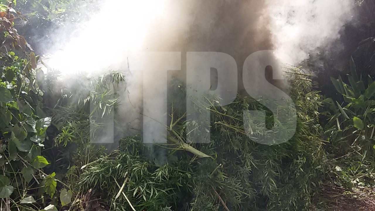 Police destroy $14M in marijuana in Biche. Photo courtesy The Trinidad and Tobago Police Service (TTPS).