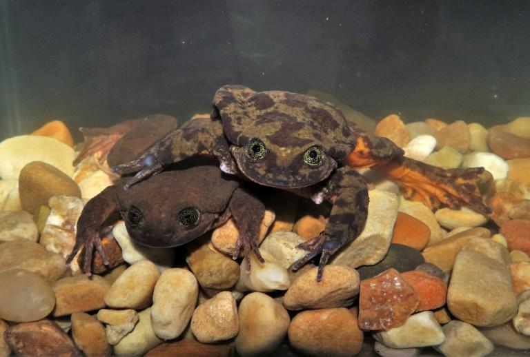 Photo fournie par le musée Alcide d'Orbigny montrant une espèce de grenouille en Bolivie menacée d'extinction