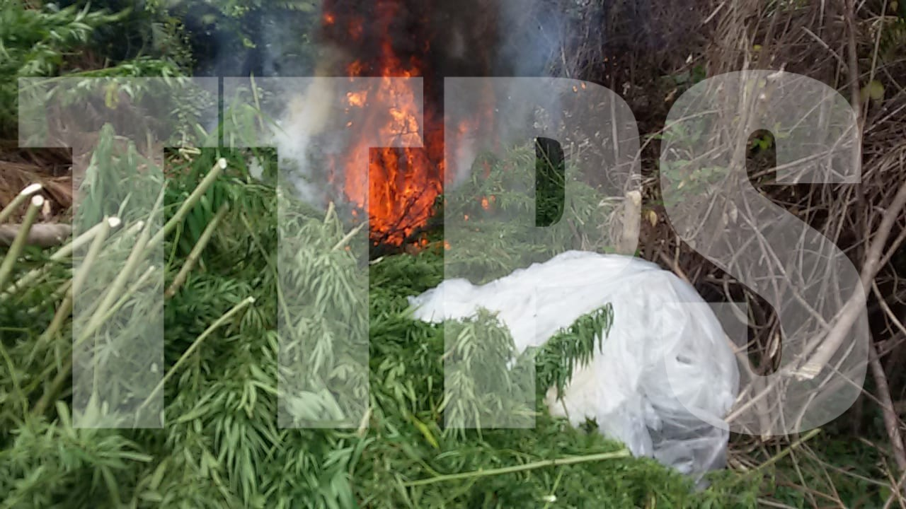 Marijuana fields destroyed in Biche. Photo courtesy The Trinidad and Tobago Police Service.