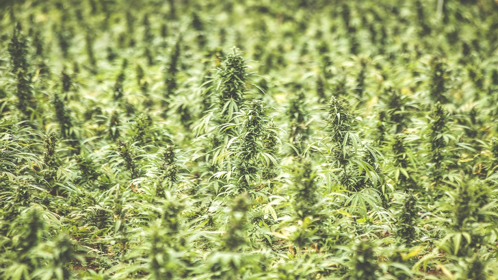 Stock photo of a ganja field.