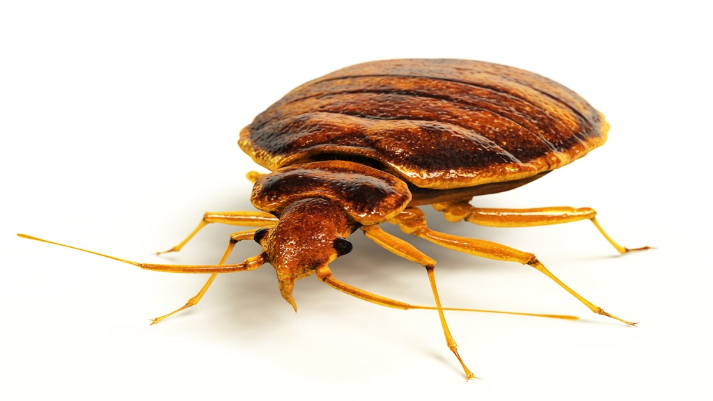Stock image of a bedbug.