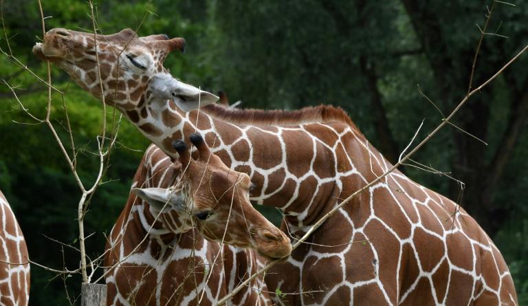 Des girafes au zoo Hellabrunn de Munich, le 12 juillet 2019 en Allemagne
