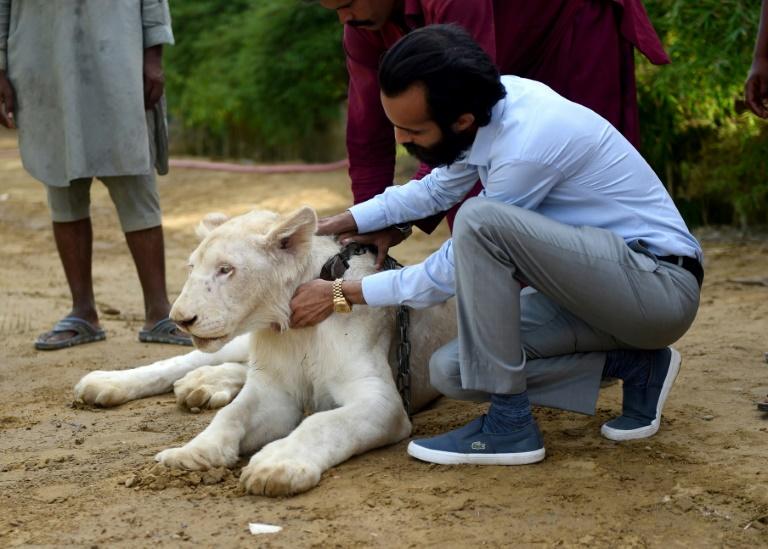Bilal Mansoor Khawaja caresse l'un des lions blancs de son zoo privé, le 20 mai 2019 à Karachi, au Pakistan