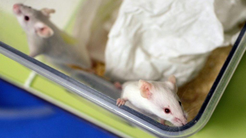Des chercheurs aux Etats-Unis sont parvenus à éliminer durablement le VIH, le virus responsable du sida, chez certaines souris infectées grâce à une combinaison de techniques AFP/Archives