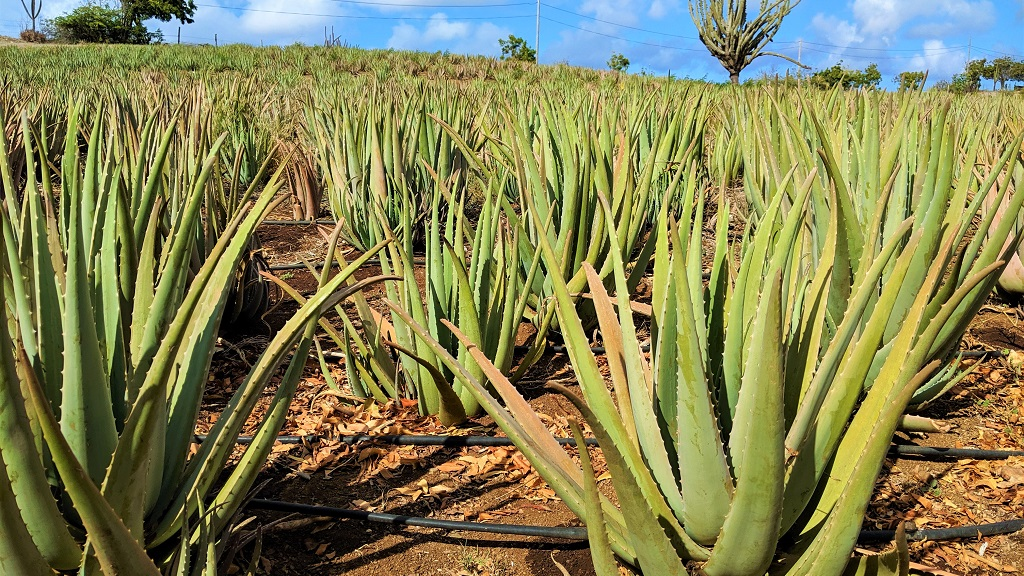 Photo: Curacao Ecocity Project features 100,000 aloe vera plants on five acres of land. Photo by Alina Doodnath.