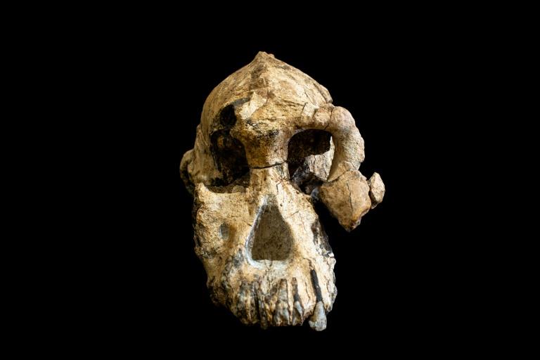 Photo fournie par le Museum of Natural history de Cleveland le 28 août 2019 montrant un fragment de crâne d'Australopithèque vieux de 3,8 millions d'années découvert en Ethiopie