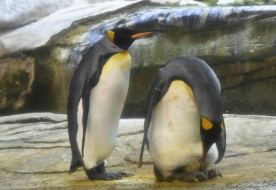 Deux pingouins homosexuels Skipper (d) et son partenaire Ping prennent soin d'un oeuf d'un autre couple de pingouins hétérosexuels, le 15 août 2019 au zoo de Berlin. afp.com - Tobias SCHWARZ