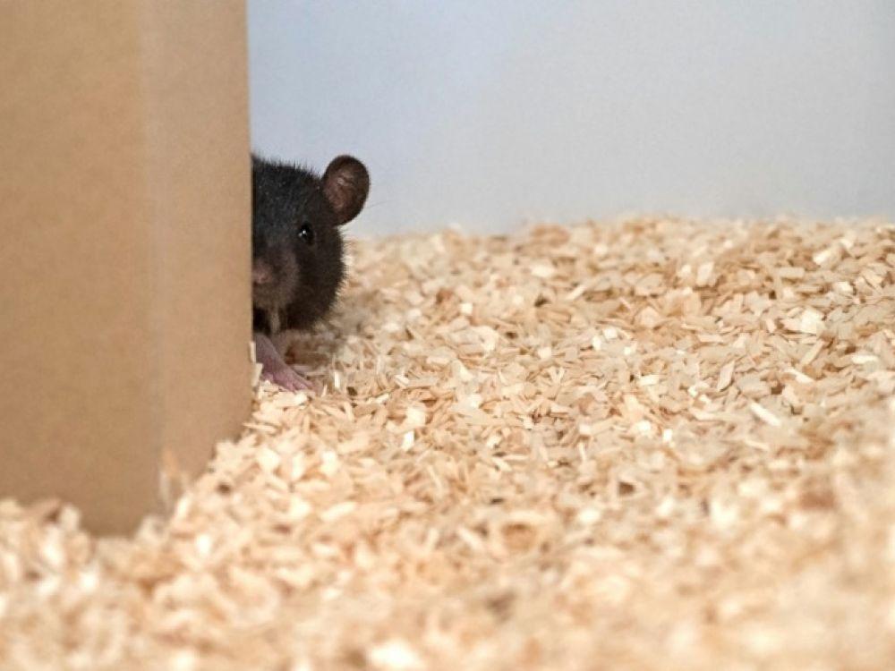 Un rat utilisé dans une expérience allemande, décrite dans une étude publiée le 12 septembre 2019 dans Science afp.com - HO