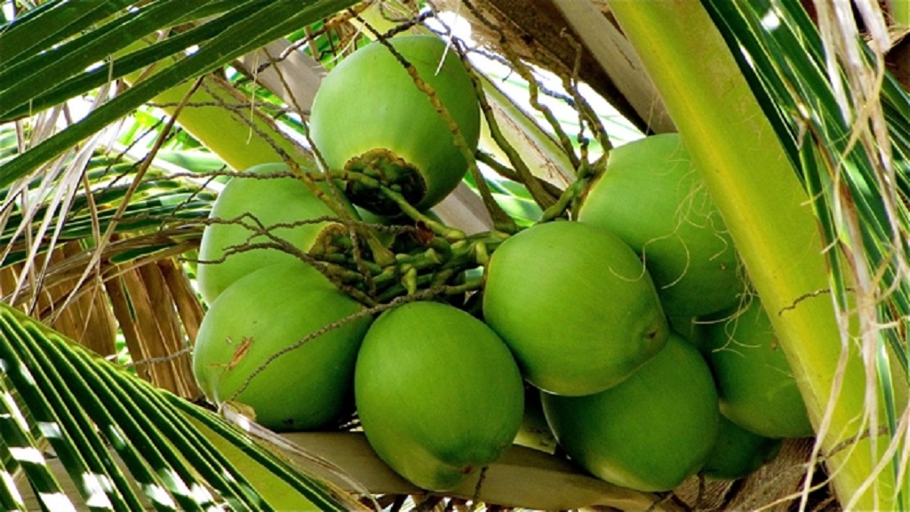 Partially mature coconuts on a tree.