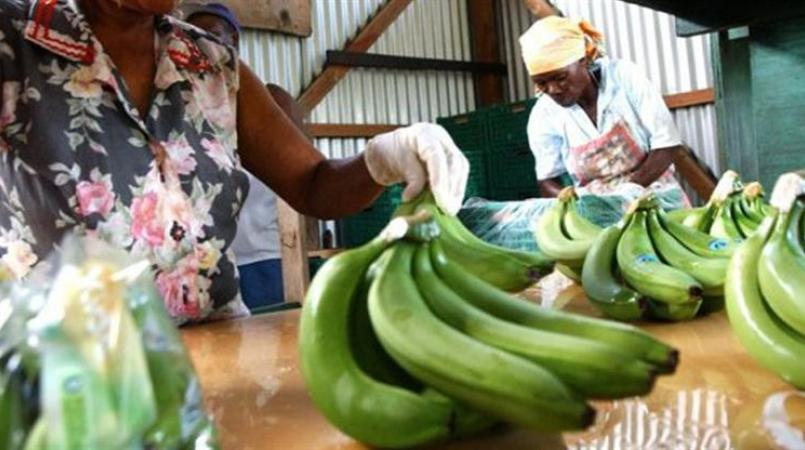 Green bananas being packed