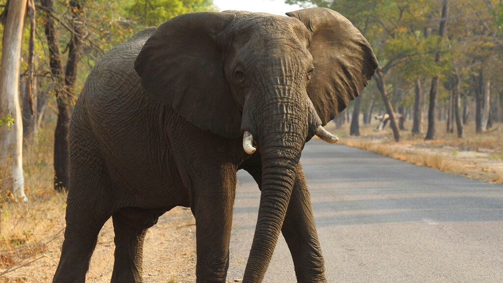 In this Oct. 1, 2015, file photo, an elephant crosses a road at a national park in Hwange, Zimbabwe. (AP Photo/Tsvangirayi Mukwazhi, File)