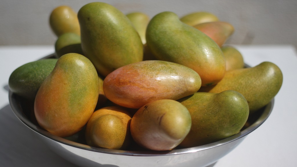 iStock photo of a variety of Jamaican mangoes including hybrid East Indian Mangoes, Bombay, East Indian and Julie mangoes.