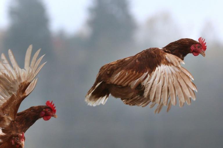 Une association croate de défense des animaux a l'intention de porter plainte contre un footballeur accusé d'avoir tué un poulet à coups de pied lors d'un match