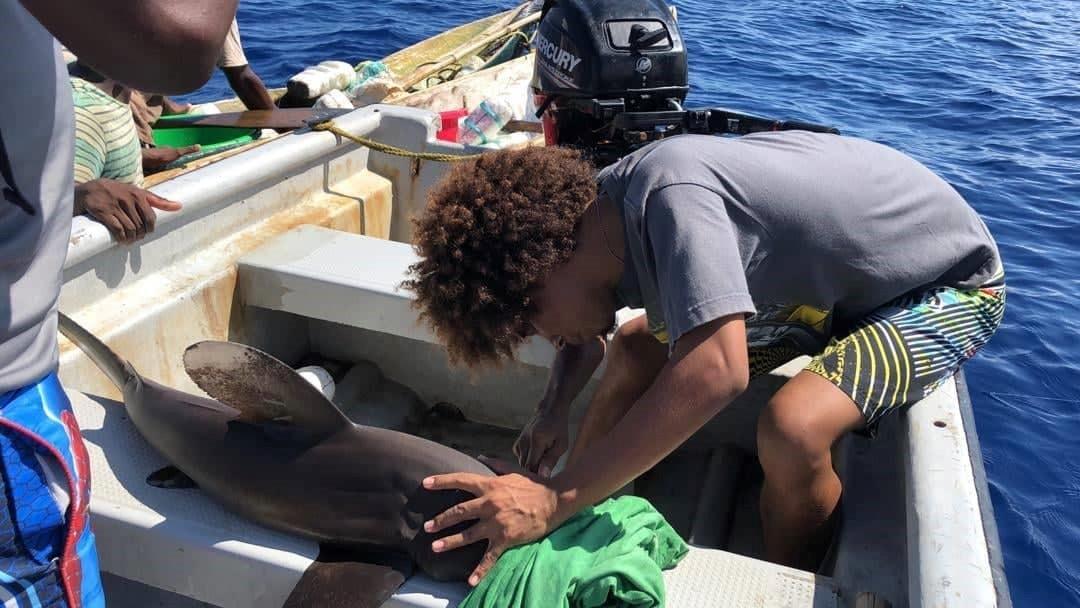 Claude Pressoir, Coordonnateur du programme des requins de HOP, prenant les mesures d'un requin océanique juvénile / Crédit photos : HOP