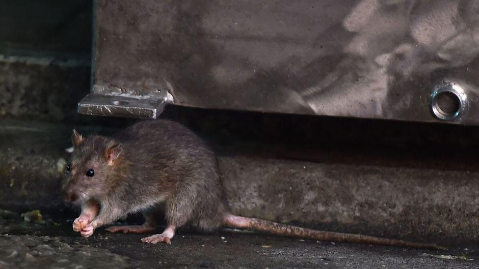 3 morts lors d'une opération d'extermination de rats qui tourne mal
