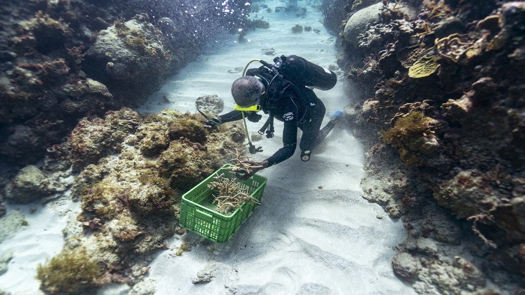 Diver Everton Simpson grabs a handful of staghorn, harvested from a coral nursery, to be planted inside the the White River Fish Sanctuary Tuesday, February 12, 2019, in Ocho Rios, Jamaica. (Photos: AP)