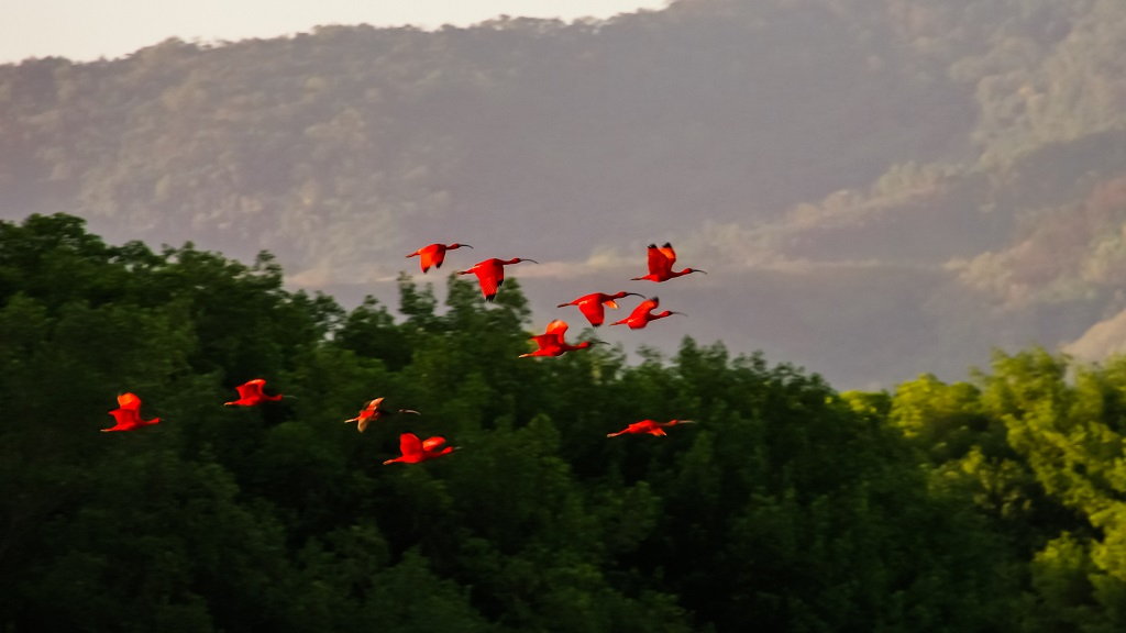 Photo: The country's national bird, the Scarlet Ibis, in the Caroni Swamp. Photo courtesy Getty Images.