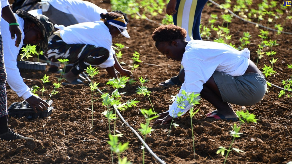 Workers plant hemp at Organic Growth Holdings Incorporated's craft medicinal hemp farm at Long Pond Estate in Trelawny.
