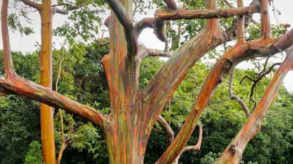 A rainbow gum tree