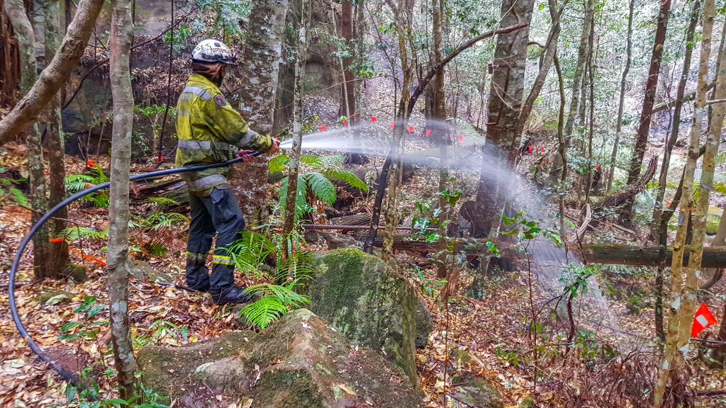 In this photo taken early January 2020, and provided Thursday, January 16, 2020, by the New South Wales National Parks and Wildlife Service, NSW National Parks and Wildlife Service personnel use fire hoses to dampen the forest floor near Wollemi pine trees in the Wollemi National Park, New South Wales, Australia. (NSW National Parks and Wildfire Service via AP)