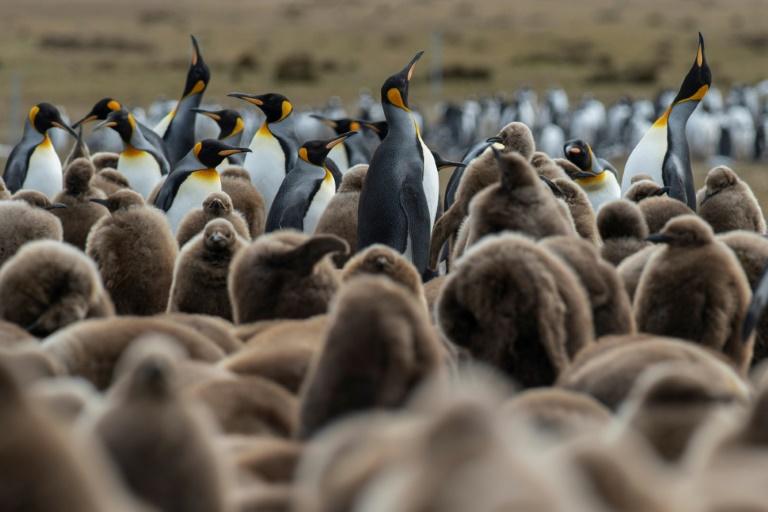 Pingouins sur les îles Falkland, en octobre 2019