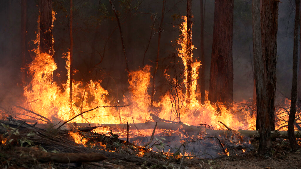 Flames from a controlled fire burn up tree trunks as firefighters work at building a containment line at a wildfire near Bodalla, Australia, January 12, 2020. (AP Photo/Rick Rycroft)