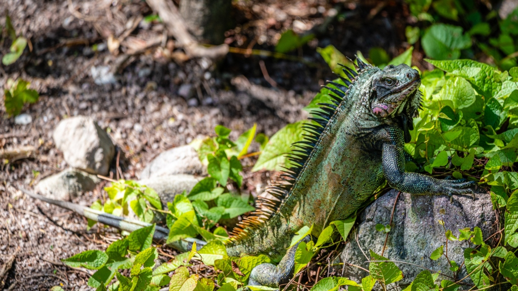 The Saba Black Iguana (Iguana melanoderma). Photo: Kai Wulf/SCF.