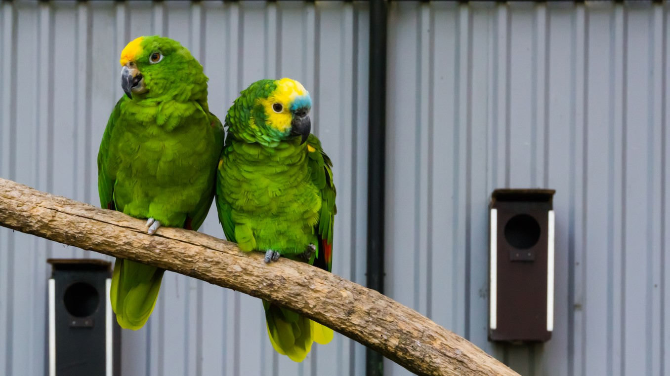 Two green amazon parrots, one yellow-crowned, one blue crowned, close together on a branch [iStock.com/Charlotte Bleijenberg]