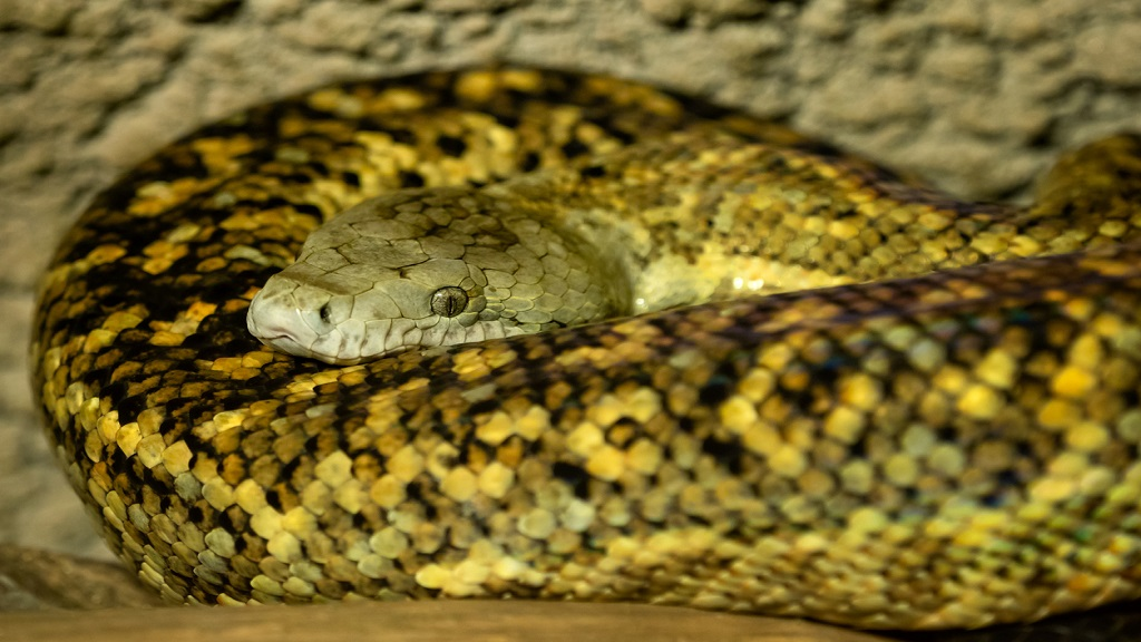 iStock photo of the Jamaican boa or yellow snake.