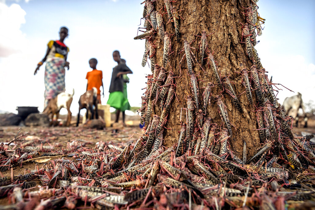 In this photo taken Tuesday, March 31, 2020, desert locusts swarm over a tree in Kipsing, near Oldonyiro, in Isiolo county, Kenya.  (Sven Torfinn/FAO via AP) MANDATORY CREDIT