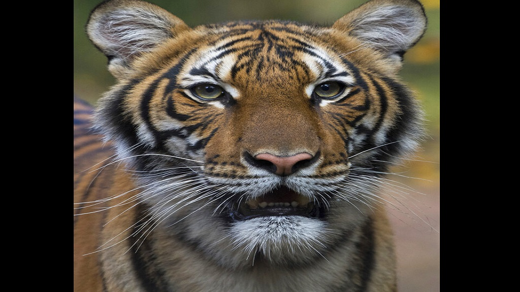 A Malayan tiger at the Bronx Zoo in New York has tested positive for the new coronavirus, in what is believed to be the first known infection in an animal in the US or a tiger anywhere, federal officials and the zoo said Sunday, April 5, 2020. (Julie Larsen Maher/Wildlife Conservation Society via AP)