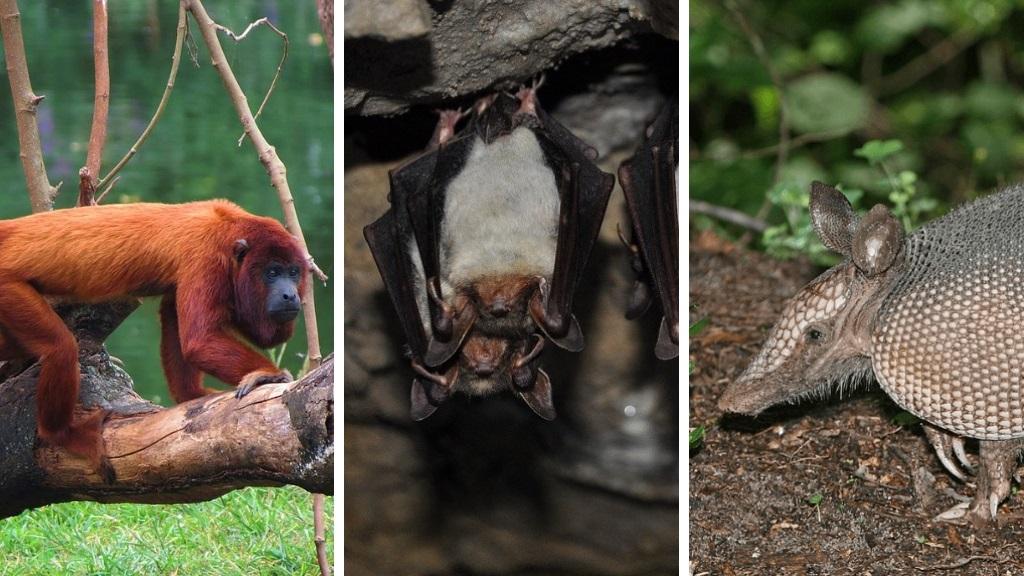Photos L-R: Red Howler Monkey, courtesy Wikipedia, Fruit bat, courtesy tomatomicek, Pixabay, Armadillo, courtesy Wikipedia.