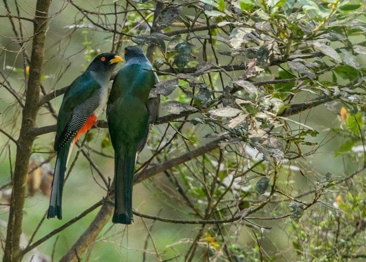 Caleçon Rouge (en couple), reconnu comme l'oiseau national haïtien/ Photo : René Durocher