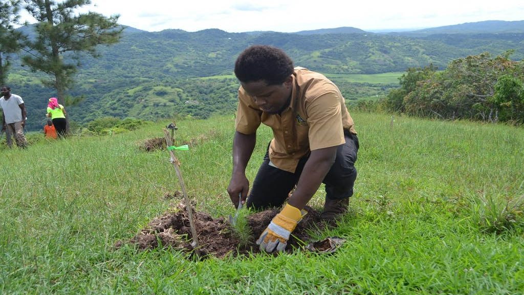 Public Education Officer at the Forestry Department, Daniel Dunkley, plants a Caribbean Pine in the British Forest Estate in Clarendon. The Department is offering free timber seedlings to the public for Labour Day, starting on May 18.