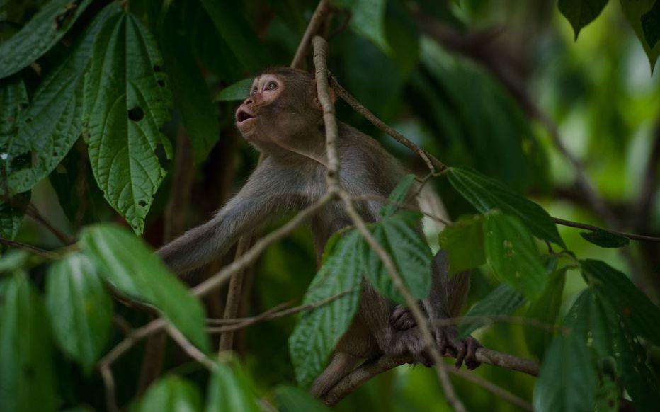 Lorsque ces singes ont été infectés par voie nasale par le SARS-CoV-2 six semaines plus tard, « ils présentaient des niveaux d'anticorps dans le sang suffisant pour neutraliser le virus en deux semaines ». AFP/Ye Aung THU