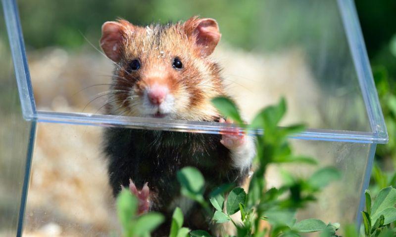 des tests sur les hamsters à Hong Kong prouvent l'efficacité des masques. Photo: AFP