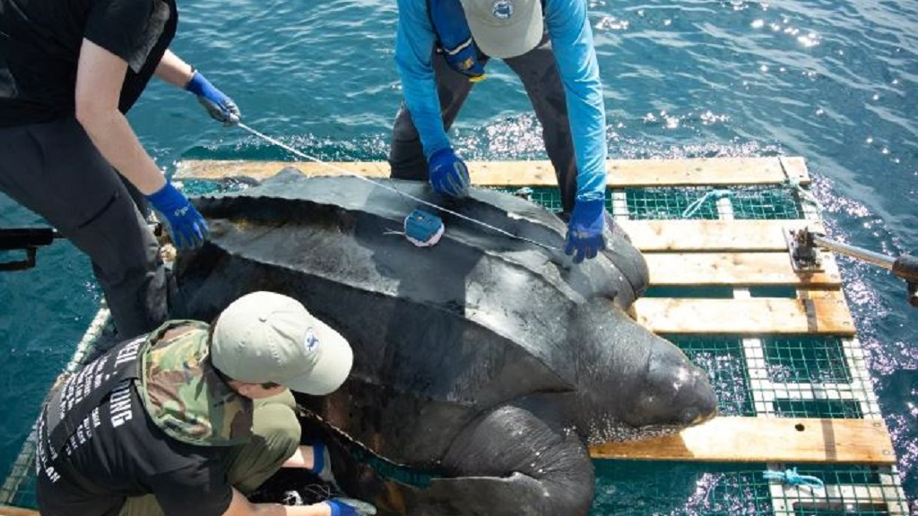 Photo: GPS trackers placed on a Leatherback turtle as part of a research project conducted by the Canadian Sea Turtle Network and Fisheries and Oceans Canada. Photo via the CBC.