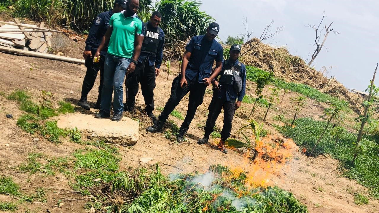 Police look on as a fire builds on marijuana plants destroyed in an operation.
