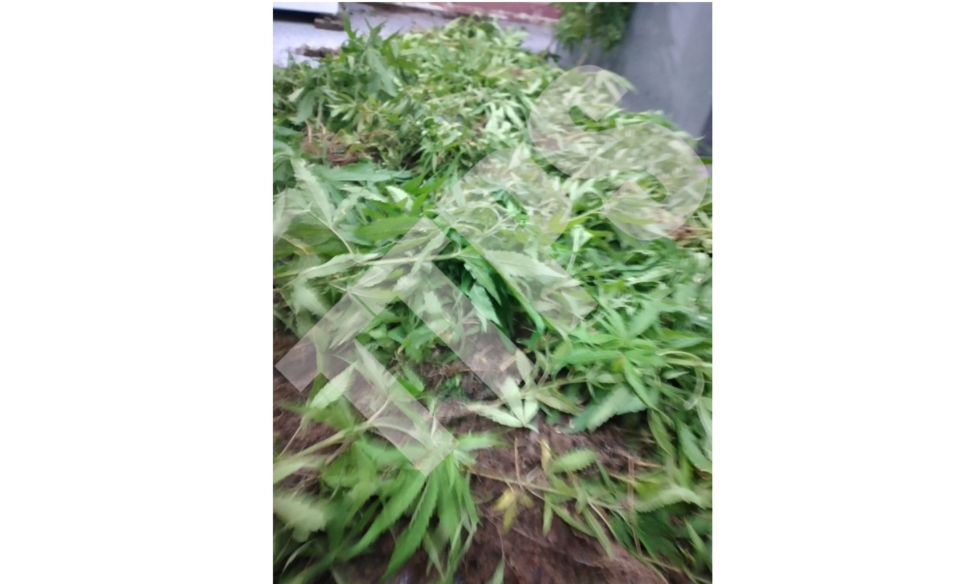 Seized: Some of the marijuana plants recovered by police in Arima.