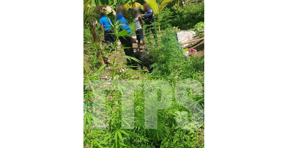 Marijuana trees discovered by police in Roxborough, Tobago