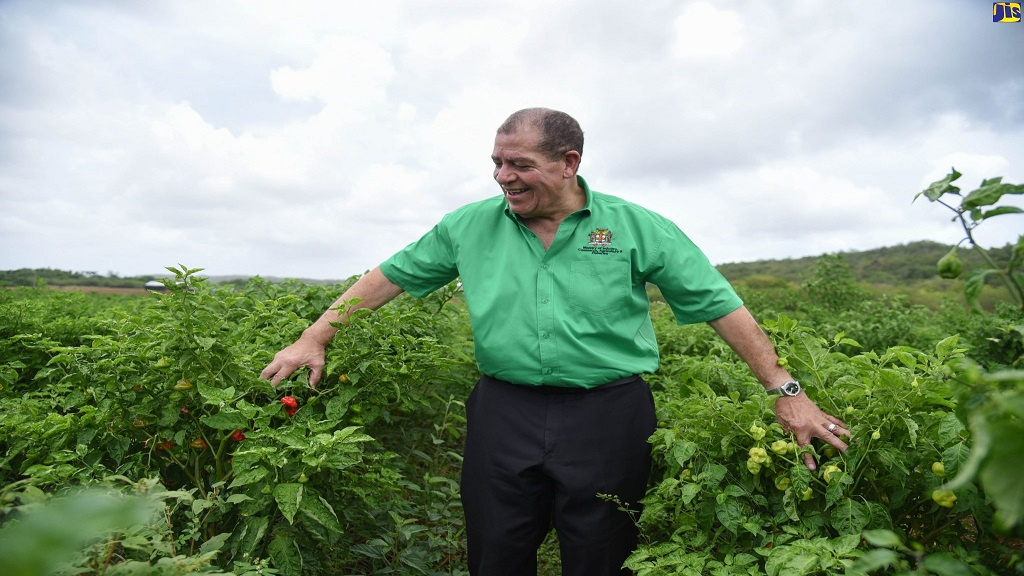Minister of Industry, Commerce, Agriculture and Fisheries, Audley Shaw, admires a crop of West Indian red peppers during a tour of Gary Coulton's farm located at the Spring Plain Agro Park in Clarendon on Friday, June 5.