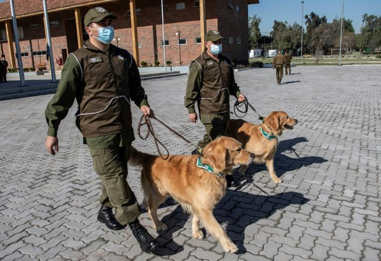 Deux des chiens employés à détecter le Covid-19 chez les patients le 14 juillet 2020 à Santiago. afp.com - MARTIN BERNETTI