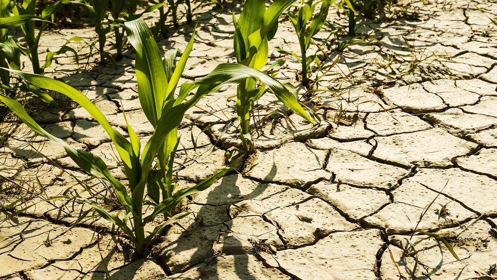 Stock image of a dry cornfield.