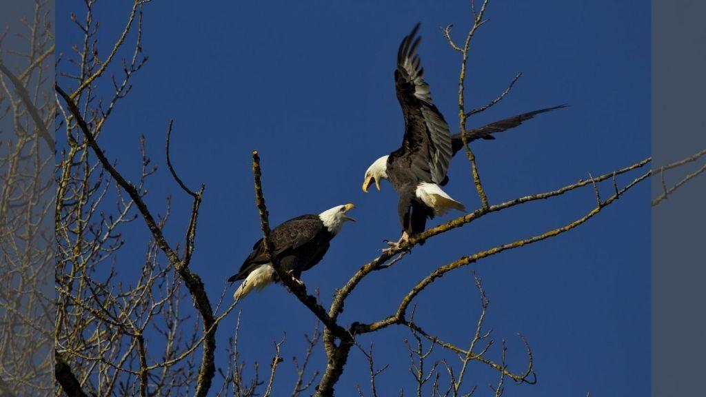 Bald eagle shows air superiority, sends drone into lake. (AP Photo)
