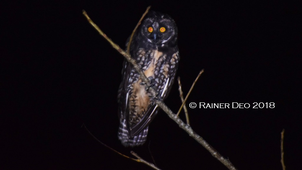 Photo: The Stygian owl, documented in Trinidad and Tobago for the first time in 2018 by Hukaymah Ali and Rainer Deo. Photo courtesy Rainer Deo.