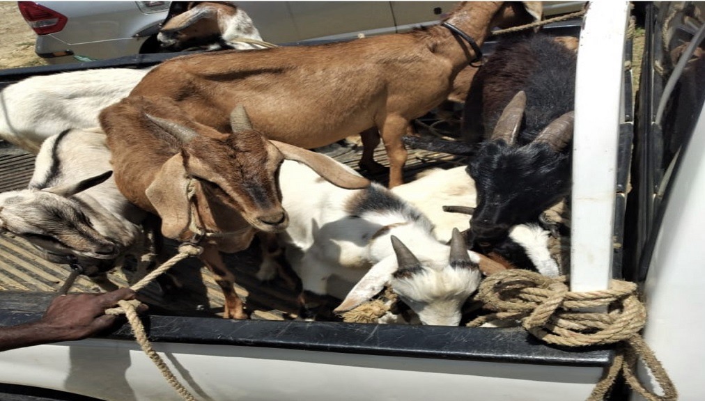 Stolen goats which were recovered (file photos)