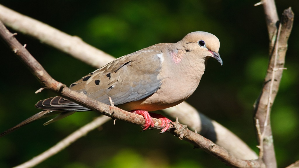 Mourning dove iStock photo