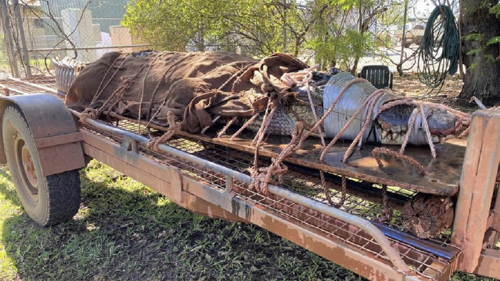 In this photo provided by Northern Territory Department of Tourism, Sport and Culture, a 350-kilogram (770-pound) male crocodile is tied to the back of a trailer in Katherine, Australia on August 28, 2020. (Northern Territory Department of Tourism, Sport and Culture via AP)