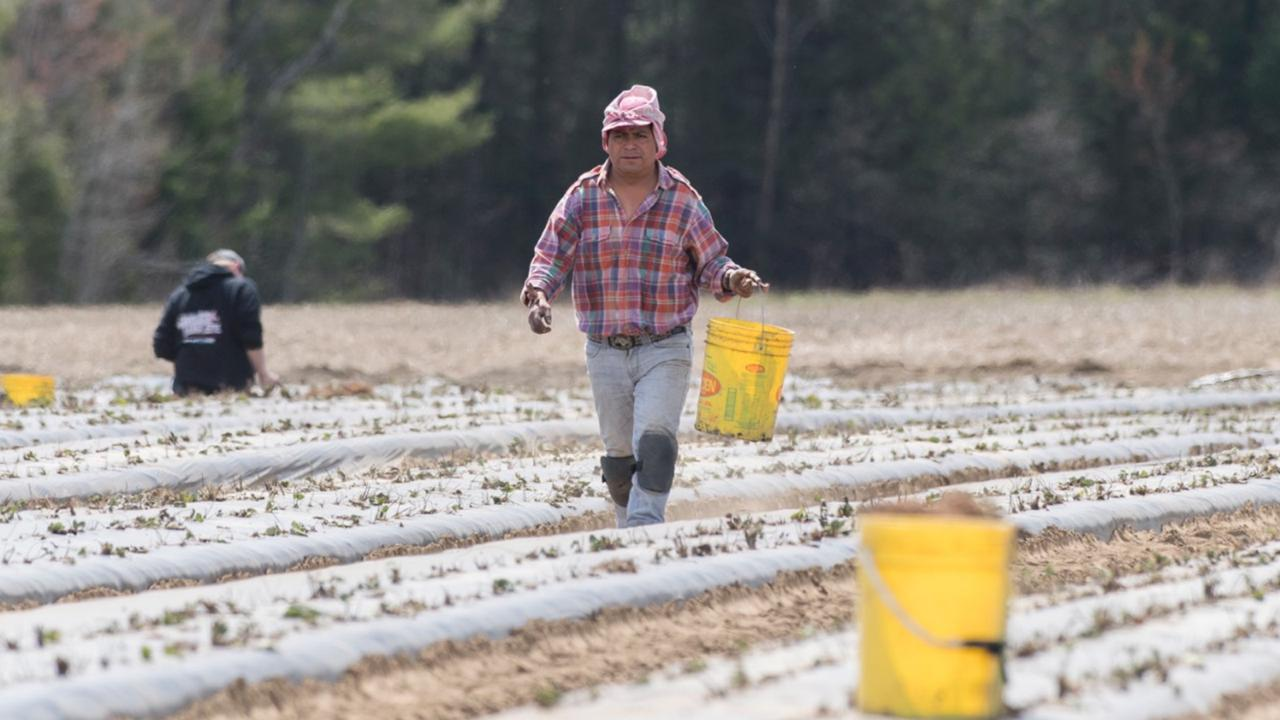 In this May 6, 2020, file photo, a temporary worker from Mexico plants strawberries on a farm in Mirabel, Quebec as the COVID-19 pandemic continues in Canada and around the world. The coronavirus pandemic has brought hard times for many farmers and has imperiled food security for many millions both in the cities and the countryside. (Graham Hughes/The Canadian Press via AP, File)